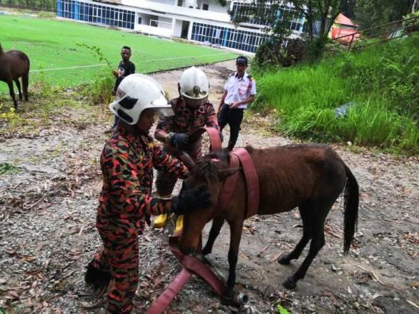 Kuda betina berjaya dikeluarkan dalam keadaan selamat oleh pasukan penyelamat. - Foto BBP Rawang