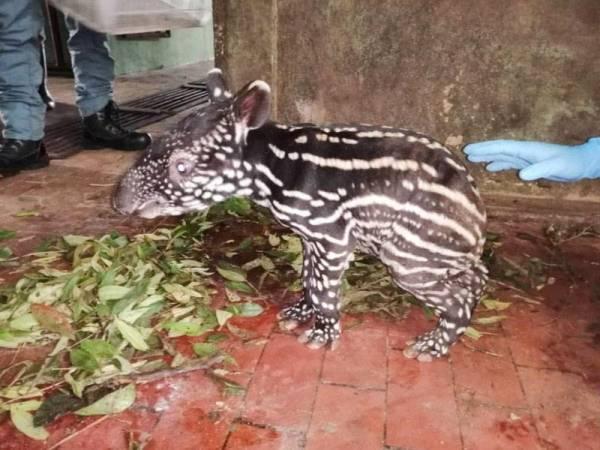 Seekor anak tapir jantan berjaya dilahirkan di Pusat Konservasi Hidupan Liar (PKHL) Sungai Dusun, di sini, semalam