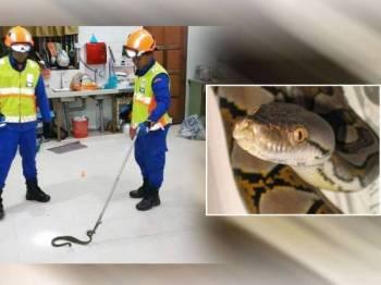 Anggota APM menangkap ular sawa yang melingkar bawah peti sejuk di sebuah rumah di Kampung Bukit Badong di sini pagi tadi.