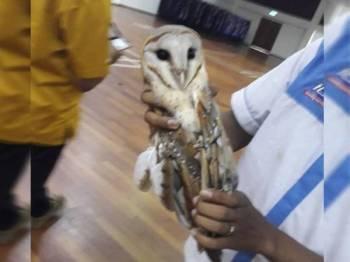 Burung hantu yang berjaya ditangkap oleh anggota bomba di Dewan UiTM Raub hari ini.  -Foto Ihsan Bomba