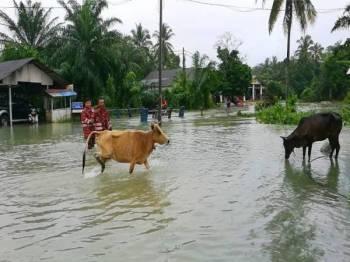 Ibrahim (hadapan) dan anggotanya menarik lembu ke tempat tinggi selepas kawasan kampung berkenaan ditenggelami banjir.