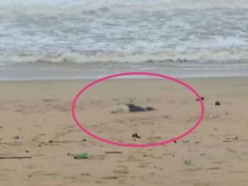 Kedudukan mayat ketika ditemui di pantai Kampung Pasir Putih, Merchang petang tadi