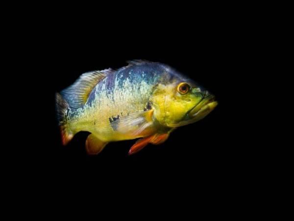 Peacock bass. - Foto 123RF
