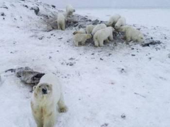 Lebih 50 ekor beruang polar dikesan di Ryrkaypiy, wilayah Chukotka, Rusia. - Foto WWF