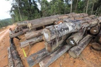 Antara balak yang disita dipercayai hasil aktiviti pembalakan haram di Hutan Simpan Remen Chereh Tambahan Sungai Lembing di sini. - Foto: JPNP