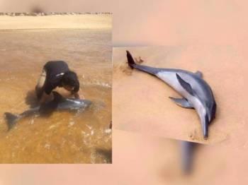 Mohd Nur Aiman menyelamatkan ikan lumba-lumba yang ditemui terdampar di Pantai Tanjung Gelam, Kuala Nerus tengah hari semalam. (Seekor ikan lumba-lumba terdampar di Pantai Tanjung Gelam, Kuala Nerus semalam. - Foto UMT)