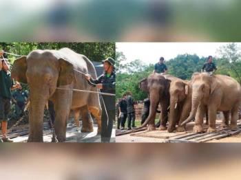 Khidmat gajah denak betina iaitu Rambai dan Abot sering digunakan digunakan bagi memindahkan gajah liar. Foto: Bernama