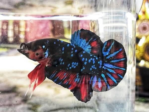 Ikan kacuk daripada spesies avatar betta dan koi galaxy betta yang mengalahkan 2,305 ikan laga lain dijual pada harga RM7,000. - FOTO NORHASPIDA YATIM