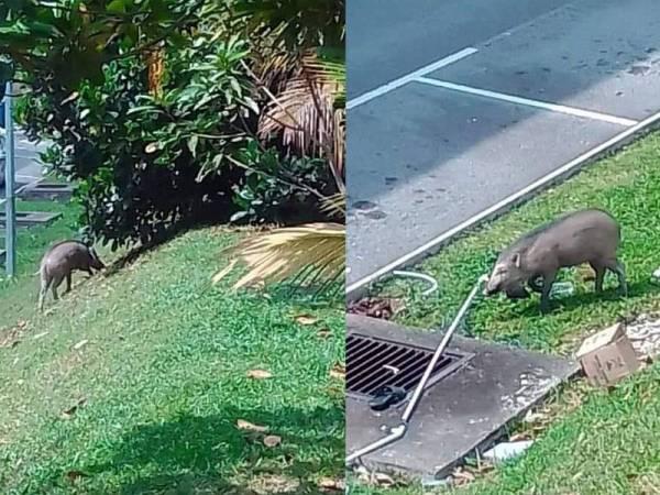 Tular di media sosial beberapa keping gambar babi hutan yang sedang berkeliaran di kawasan perumahan termasuk di kawasan parkir di Taman Desa Jati.