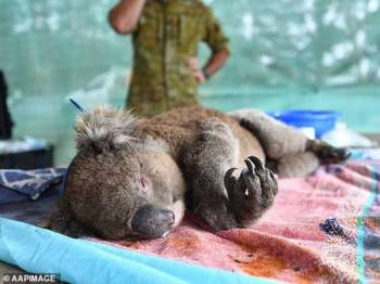 Koala yang terjejas dalam kebakaran dahsyat di Australia dirawat di Taman Hidupan Liar Pulau Kangaru di barat daya Adelaide. - Foto Agensi