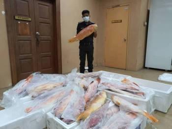 Anggota Maqis menunjukkan ikan kerapu bara yang dirampas di Kompleks Sultan Abu Bakar semalam.