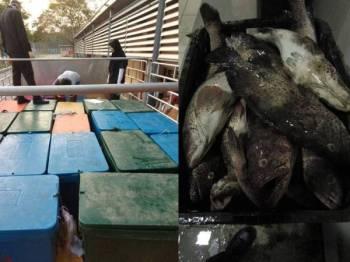 Lori yang membawa ikan kerapu dan sagai tanpa permit eksport berjaya ditahan Maqis Johor kelmarin.