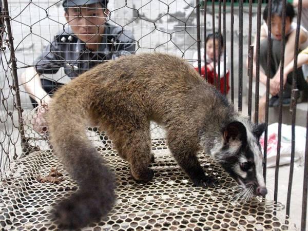 Musang dipercayai menyebarkan virus SARS ketika ia menular dan meragut hampir 700 nyawa di Hong Kong dan China pada 2002 dan 2003. - Foto AFP
