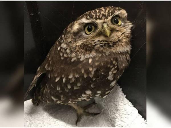 Plump perlu diet untuk terbang semula. - Foto Instagram Suffolk Owl Sanctuary