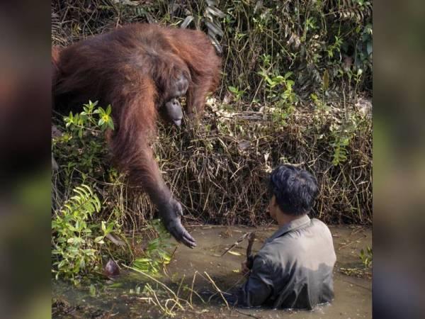 Orang utan hulurkan tangan kepada lelaki yang berada di dalam sungai. - Foto Anil Prabhakar / SWNS