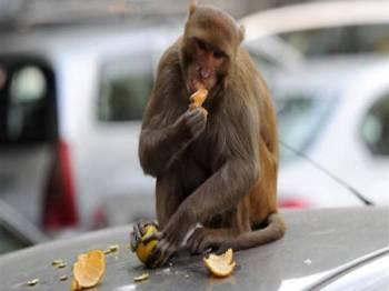 Kebanyakan monyet di India kini semakin berani keluar ke kawasan bandar untuk mencari makanan. - FOTO: AGENSI