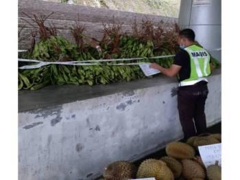 Seorang pegawai Maqis memeriksa durian dan petai yang dirampas di pintu masuk ICQS Pengkalan Hulu di sini.