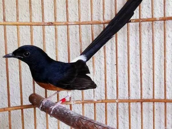 Cubaan Seludup 600 Burung Murai Ke Indonesia Gagal