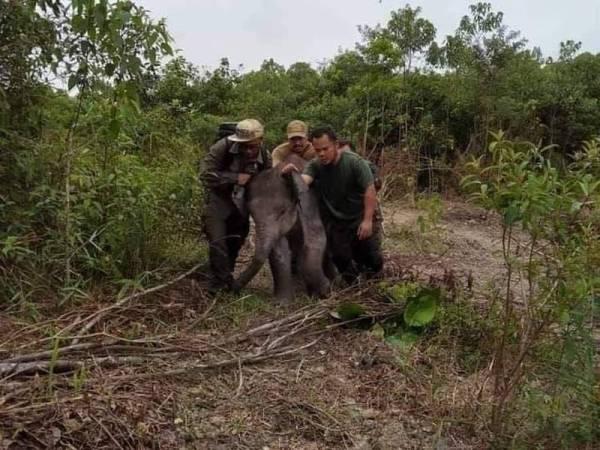 Anak gajah yang diselamatkan Perhilitan Johor selepas didapati lebih seminggu berkeliaran di kawasan Batu 7 Jalan Mawai (Jalan Kota Tinggi - Mersing), 14 Julai lalu.