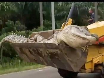Buaya berat 500kg diangkut guna jengkaut. - Foto Daily Mail