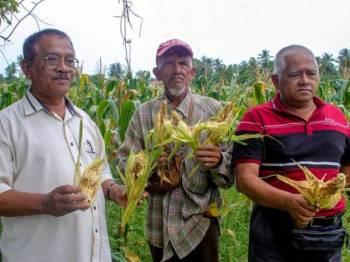 Penanam jagung berkelompok (dari kiri) Mohd Zaid Hanafi, Mohamed Noor dan Mohd Adnan Mohd Zin menunjukkan jagung yang rosak di Kampung Sungai, Bachok, Kelantan, hari ini.