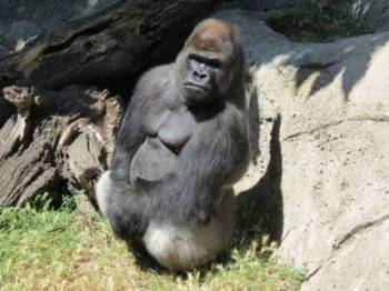 Seekor gorila jantan yang bernama Malabo dibesarkan oleh penjaga Zoo Madrid sejak ia dilahirkan. - Foto Zoo Madrid/Twitter