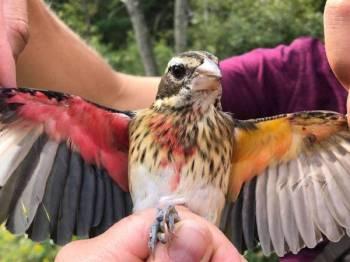 Burung tersebut didakwa mempunyai dua jantina berdasarkan warna berbeza pada kedua-dua sayapnya. - Foto Agensi