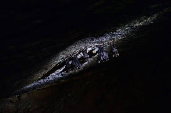 Kelawar yang menghuni gua yang terdapat di Bukit Batu Lebah.