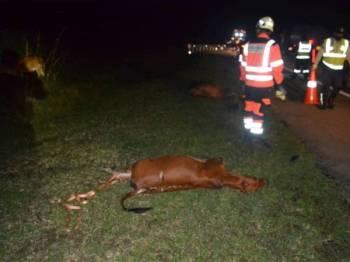 Petugas lebuh raya mengalihkan bangkai lembu ke bahu lebuh raya untuk keselamatan pengguna. Foto: Ihsan Polis
