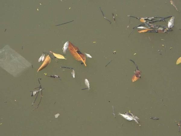 Anak ikan didapati mati di permukaan Sungai Kuala Kerpan.
