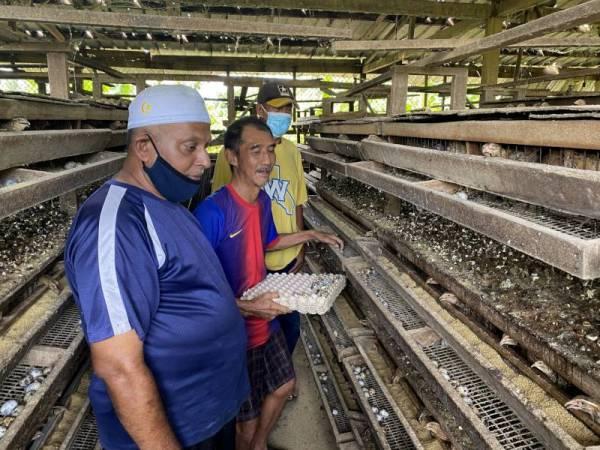 Meng Soon kini yang menternak kira-kira 5,000 ekor burung berkenaan dan mampu menjual lebih 2,000 biji telur burung peliharaannya itu setiap hari untuk pasaran setempat. - Foto Bernama