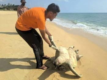 Bangkai penyu yang mulai reput ditemui penduduk berhampiran Pantai Kuala Abang, Dungun pada Sabtu.