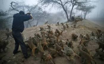 Gambar fail menunjukkan seorang lelaki memberikan makanan kepada sejumlah monyet di New Delhi. - Foto AP