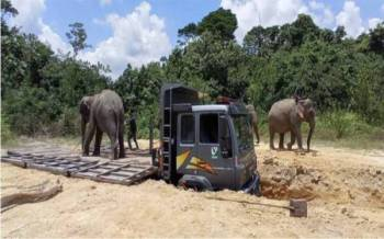 Gajah liar' yang diberi nama Limah ditangkap pada Selasa dibawa menaiki lori untuk dipindahkan ke Taman Negara Endau Rompin, Johor pada Sabtu.